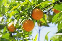 Italy, Lazio, Rome, Villa Borghese, Villa Giulia, orange tree in the gardens.