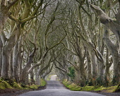 Ireland, County Antrim, Armoy, Early morning mist amidst The Dark Hedges, an avenue of beech trees dating from 1775 that have been used as a location in the HBO award winning Game of Thrones televisio...
