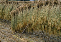 Japan, Honshu, Near Kyoto, Rice drying on racks.
