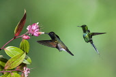 Animals, Birds, A male Black-bellied Hummingbird, Euperusa nigriventris, pollinates a tropical blueberry flower while a Green Thorntail Hummingbird, Discosura conversii, waits its turn. Costa Rica.