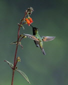 Animals, Birds, A Black-bellied Hummingbird, Euperusa nigriventris, feeds on the nector of a tropical flower of the Kohleria genus of the Gesneriaceae or African Violet family, and in the process, pol...