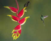 Animals, Birds, A Black-bellied Hummingbird, Euperusa nigriventris, sits on a lobster-claw heliconia while a Green Thorntail Hummingbird, Discosura conversii, hovers nearby in Costa Rica.