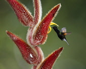 Animals, Birds, A Black-bellied Hummingbird, Euperusa nigriventris, feeds on the nector of a tropical Hairy Heliconia flower, Heliconia vellerigera, and in the process, pollinates the flowers as it fl...