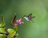 Animals, Birds, A Black-bellied Hummingbird, Euperusa nigriventris, approaches a tropical blueberry flower to feed, and in the process, pollinates the flowers as it flies from one to the next. Costa R...