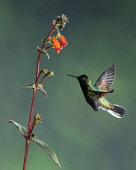 Animals, Birds, A Black-bellied Hummingbird, Euperusa nigriventris, approaches a tropical flower of the Kohleria genus of the Gesneriaceae or African Violet family, to feed, and in the process, pollin...