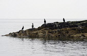 England, Northumberland, Farne Island, Cormorants, Phalacrocorax Carbo, sat on rocks.