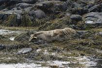 England, Northumberland, Farne Island, Grey Seal lying on seaweed covered rocks