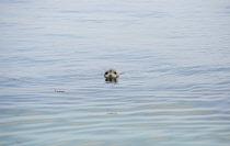 England, Northumberland, Farne Island, Grey Seal with head above water.