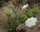 Israel, The flowers and a seed head of a wild carrot, also known as Queen Anne's Lace, Daucus carota, Daucus maxima, in the Tel Dan Nature Reserve in Galilee.