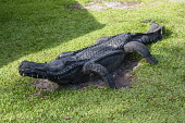 Guyana, Demerara-Mahaica Region, Georgetown, This sculpture of a crocodile in the Georgetown Zoological Park is made from old tires. An example of recycling and repurposing.