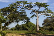 Guyana, Demerara-Mahaica Region, Georgetown, Silk Cotton or Kapok tree, Ceiba pentandra, in the Botanical Gardens. A large agave plant is flowering at left.