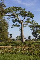 Guyana, Demerara-Mahaica Region, Georgetown, Silk Cotton or Kapok tree, Ceiba pentandra, in the Botanical Gardens. In the foreground are lotus plants.