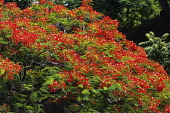 Plants, Trees, Flowers, A Flame Tree, Flamboyant, or Royal Poinciana Tree, Delonix regia, in bloom in the Dominican Republic.