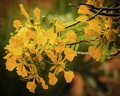 Plants, Trees, Flowers, A Flame Tree, Flamboyant, or Royal Poinciana Tree, Delonix regia var. flavida, in bloom in the Dominican Republic.  Most Flame Tree flowers are red, but the more rare var. flav...