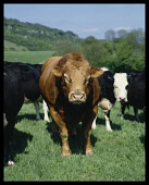 Agriculture, Animals, Cattle, Bull in field.