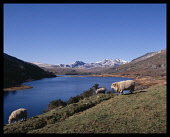 Wales, Gwynedd, Snowdonia, The Horseshoe  sheep grazing on the shores of Lake Mymbre.