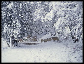 England, Shropshire, Agriculture, Sheep in Winter landscape beneath trees weighed down with snow.