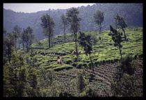Sri Lanka, Agriculture, Tea, Women working on hillside tea terraces of plantation near Nuwara Elya.
