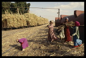 Egypt, Nile Valley, Aswan, Children gathering sugar cane that has fallen during loading a train.
