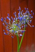 Flora, Flowers, Blue coloured Agapanthus growing outdoor in garden.