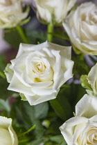Flora, Flowers, Rose, Rosa, White Roses in vase.