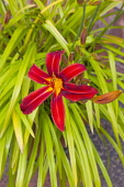 Flora, Flowers, Hermerocallis, Lily, Red coloured Day lily growing outdoor in garden.