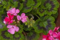 Flora, Flowers, Pink coloured Geranium growing outdoor in garden.