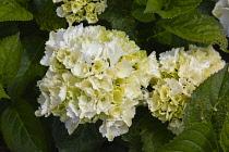 Flora, Flowers, White coloured Hydrangea growing outdoor in garden.