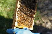 England, Kent, Yalding Organic Gardens, Food, Fresh honey being harvested from bee hive.